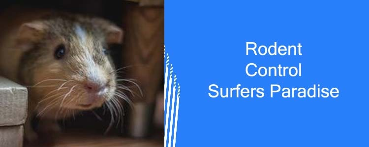 Rodent Control Surfers Paradise
